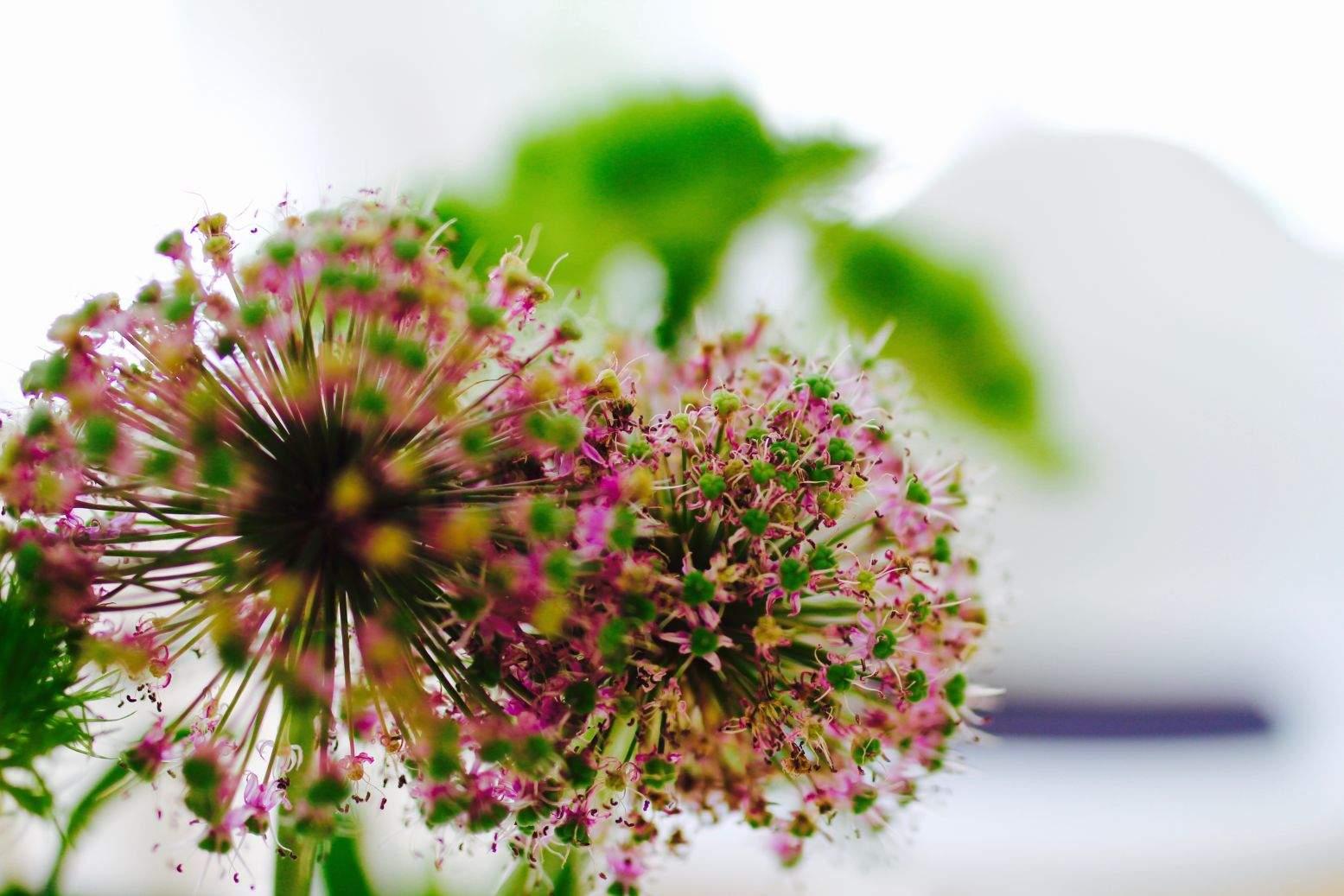 Eine grün-magenta farbene Blume vor weißen Hintergrund. Sie symbolisiert hier das Konzept der bioidentischen Hormontherapie.