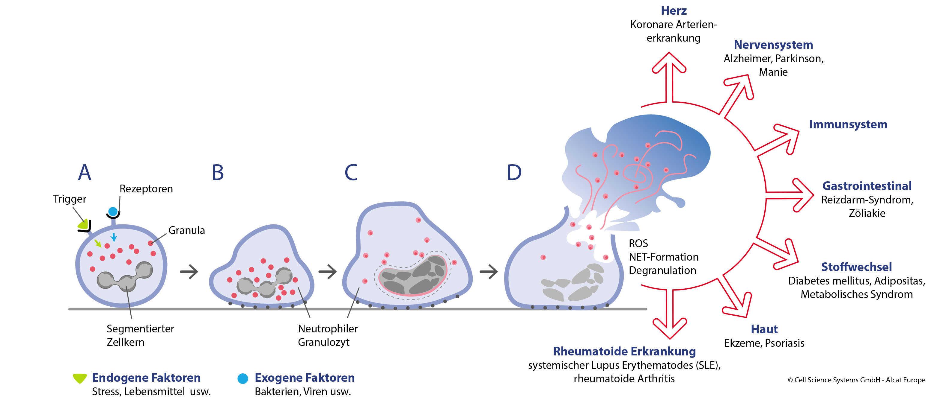 Grafik. Das Bild wird auf der Seite über Darm und Immunsystem verwendet.